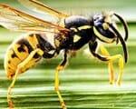 Insektenstiche: Wespen