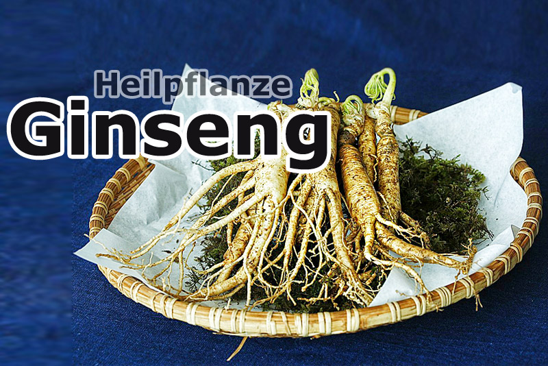 Ginseng - Heilpflanze