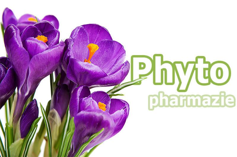 Krokus als Heilpflanze in der Phytopharmazie