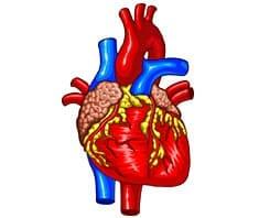 Herz, cardia, cor