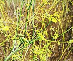 Anis | Heilpflanzenlexikon