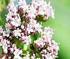 Baldrian | Heilpflanzenlexikon