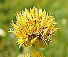 Gelber Enzian | Heilpflanzenlexikon