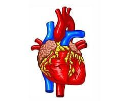 Herz, Herz-Kreislauf-Erkrankungen, Zivilisationskrankheit