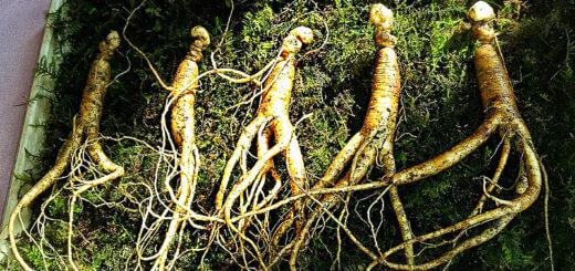 Ginseng | Heilpflanzenlexikon