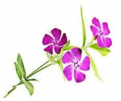 Immergrün | Heilpflanzenlexikon