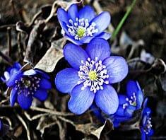 Leberblümchen, Leberblatt, Naturheilmittel