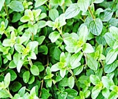 Oregano | Heilpflanzenlexikon