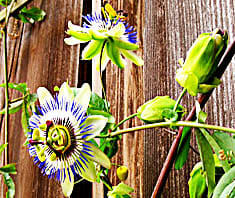 Passionsblume, Heilkraut, Naturheilmittel