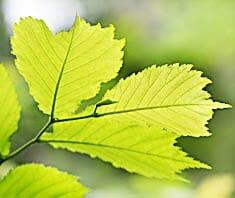 Ulme | Heilpflanzenlexikon