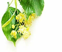 Linde | Heilpflanzenlexikon