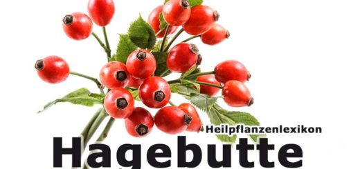 Hagebutte | Heilpflanzenlexikon