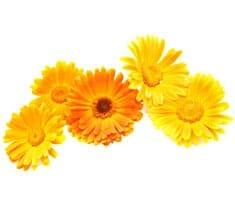 Acker-Ringelblume | Heilpflanzenlexikon