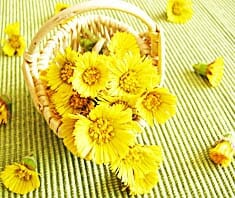 Huflattich, Naturheilkunde, Heilpflanzen