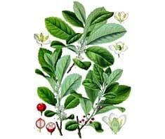 Mate, Heilpflanzen, Naturheilmittel