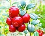 Heilpflanze Preiselbeere