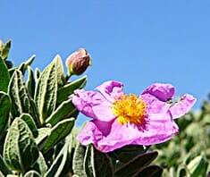 Zistrose, griechische Bergrose, Heilpflanzen