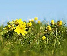 Adonisröschen | Heilpflanzenlexikon