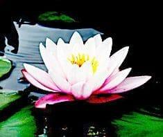 Lotusblume | Heilpflanzenlexikon