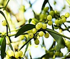 Mistel | Heilpflanzenlexikon