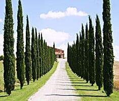 Zypresse, Säulenzypresse, Naturheilkunde