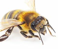 Apitherapie: die Heilkraft der Bienen