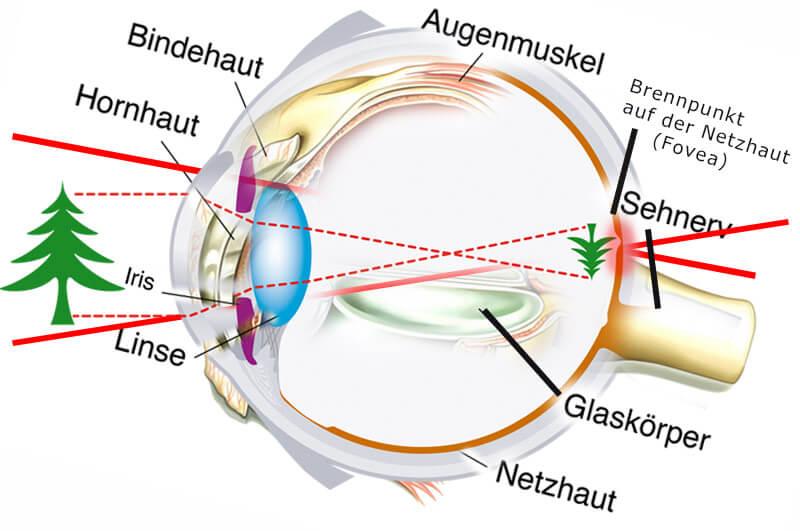 Das Auge im Querschnitt