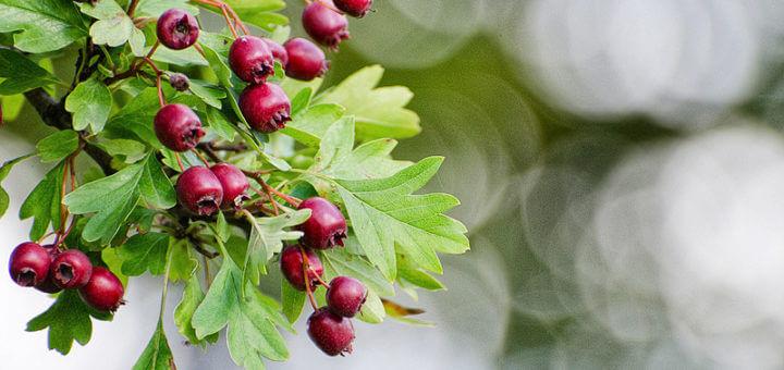 Weißdorn mit Früchten | Heilpflanzenlexikon