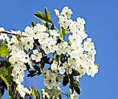 Weißdorn Heilpflanzenlexikon