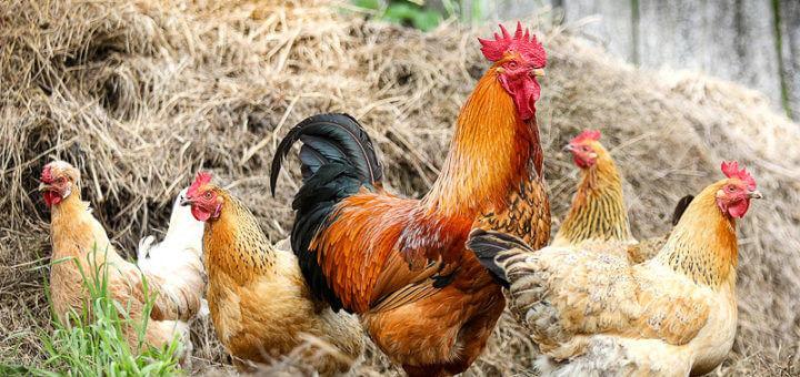 Bio-Hühner im Freien