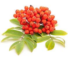 Vogelbeeren Früchte und Blätter