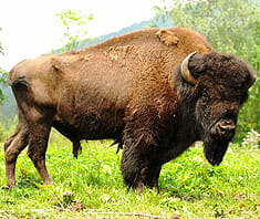 Bisonfleisch