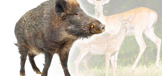 Mufflon bis Wildschwein   Wild & Federwild