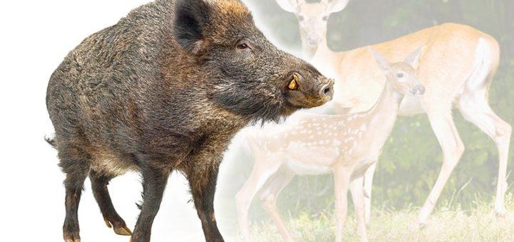 Mufflon bis Wildschwein | Wild & Federwild