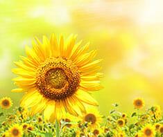 Sonnenblumen: blumen baer GmbH
