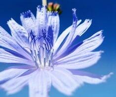Wegwarte | Heilpflanzenlexikon