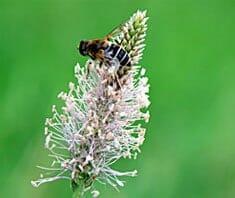 Spitzwegerich| Heilpflanzenlexikon
