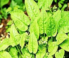 Lungenkraut | Heilpflanzenlexikon