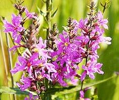 Weidenröschen | Heilpflanzenlexikon