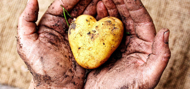 Kartoffel, Erdapfel, Grundbirn - die tolle Knolle