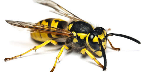 Insektenstiche – Bienen, Wespen, Hornissen
