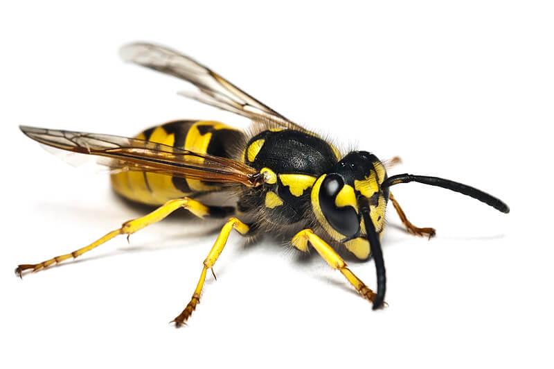 Wespe in Nahaufnahme