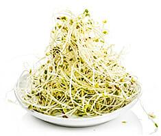 Alfalfa (Luzerne) | Keime und Sprossen