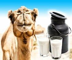 Kamelmilch – gut, gesund und schön macht sie auch noch?