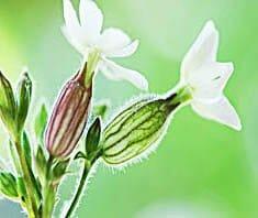 Weiße Lichtnelke (Silene dioica)