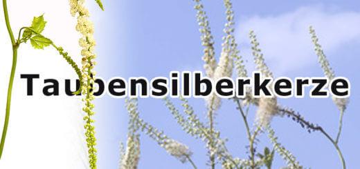 Traubensilberkerze | Heilpflanzenlexikon