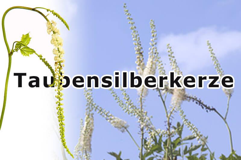Traubensilberkerze - cimicifuga racimosa