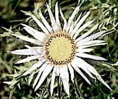 Silberdistel Heilpflanze