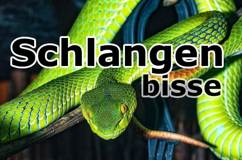 giftige Viper - Schlangenbisse – die unterschätze Tropenkrankheit!?