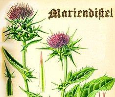 Mariendistel- historisches Bild aus dem Heilpflanzenlexikon
